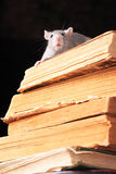 Rat  in library Stock Photography