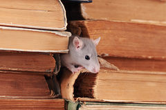 Rat  in library Royalty Free Stock Image