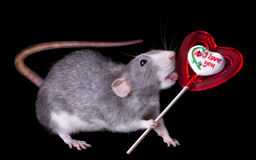 Rat Licking Lollipop Stock Photography