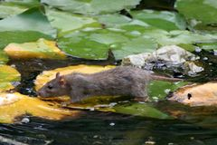 Rat on Lily leaves in water. Rat walking on water lily leaves to scrounge for food Royalty Free Stock Photos