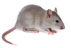 Rat. A little rat on white Royalty Free Stock Photography