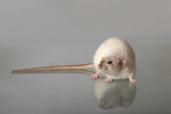 Rat with long tail Royalty Free Stock Photography