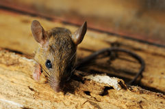 Rat look at and stop Stock Photography