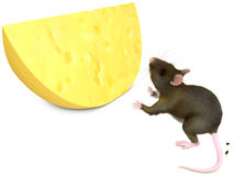 Mouse and chese. Rat looks at yellow cheese on white background Royalty Free Stock Photography