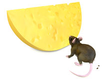 Mouse and chese. Rat looks at yellow cheese on white background Stock Image