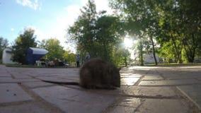 Rat malade sur le trottoir dans la ville banque de vidéos