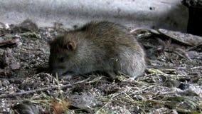 Rat mangeant dans son habitat naturel clips vidéos