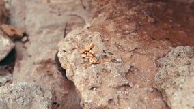 Rat mangeant des biscuits sur les roches banque de vidéos