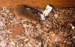 Rat is in the mess dump Stock Photo