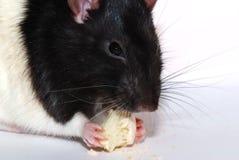 Rat met koekje Stock Afbeelding
