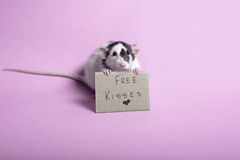Rat mignon photographie stock