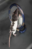 Rat and a mirror Royalty Free Stock Photography