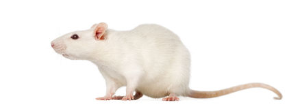Rat (8 months old), isolated Royalty Free Stock Photography