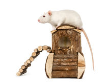 Rat (8 months old) standing on a mouse house Stock Photography