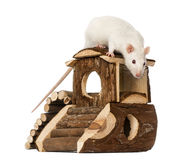 Rat (8 months old) standing on a mouse house Stock Images