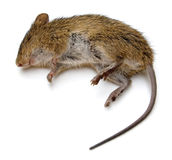 Rat mort Photo stock
