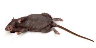 Rat mort Photos stock