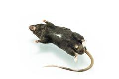 Rat mort Photographie stock libre de droits