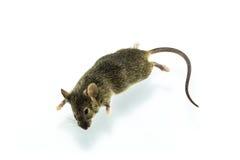 Rat mort Photographie stock