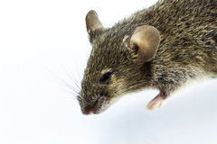 Rat mort Image stock