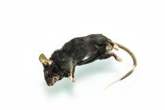 Rat mort Photo stock