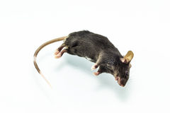 Rat mort Images libres de droits