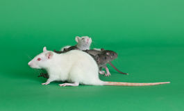 Rat mother Royalty Free Stock Photos
