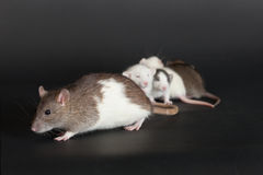 Rat mother and her little baby Stock Images