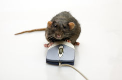 Rat and a mouse Stock Image