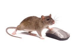 Rat and the mouse Royalty Free Stock Images