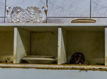 Rat and mouse plagues, animal pest in a dirty kitchen, common house problems stock photos