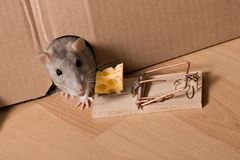 Rat, mousetrap and cheese. Rat and mousetrap with cheese royalty free stock images
