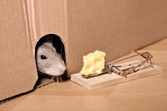 Rat, mousetrap and cheese. Rat and mousetrap with cheese stock photos