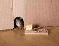 Rat, mousetrap and cheese. Rat and mousetrap with cheese stock images