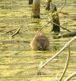 Rat musqué Image libre de droits