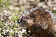 Rat musqué Image stock