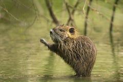 Rat musqué se cachant entre les racines Images stock