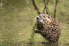 Rat musqué se cachant entre les racines Photos libres de droits