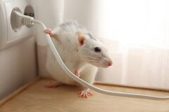 Free Rat Near Power Socket. Pest Control Royalty Free Stock Images - 176434919