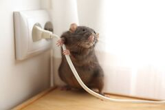 Free Rat Near Power Socket. Pest Control Royalty Free Stock Image - 185004516