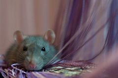 Rat near the of thread curtain Royalty Free Stock Image