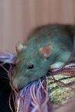 Rat near the of thread curtain Royalty Free Stock Photography