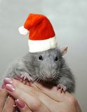 Rat in the New Year Santa Claus hat Royalty Free Stock Image