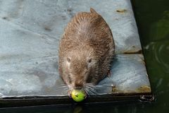 Rat nutria chewing on an Apple. Rat nutria chewing on an Apple at the zoo. Crimea royalty free stock images