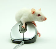 Rat On Computer Mouse Stock Photo