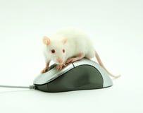 Rat op computermuis stock afbeelding