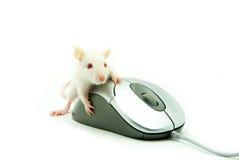 Rat op computermuis royalty-vrije stock afbeeldingen