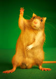 Rat op een groene achtergrond Stock Afbeelding