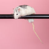 Rat op een roze achtergrond Stock Afbeelding