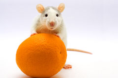 Rat with an orange. On a light background Royalty Free Stock Photos